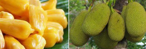 jackfruit exotic fruit