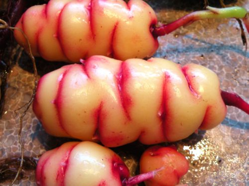 exotic vegetables oca
