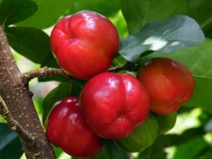 acerola cherries superfood